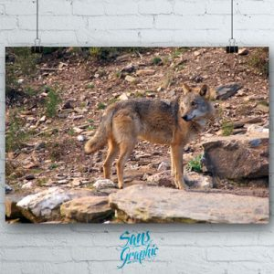 Lobo ibérico 2